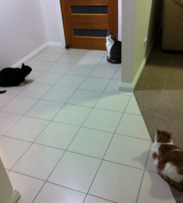 This can't be good. All three cats hanging out together by the door (i.e. a place that isn't sealed - remember, not a lot of weather-stripping in Oz) probably means something got in. Get the bug spray and a tissue...