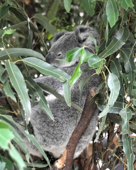 Isn't he cute? Koalas at the sanctuary are only a few inches away from you at any one time.