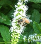A bee gathering pollen on a mint flower. We didn't even know that mint flowered...but like bugs, herbs also thrive in this climate.