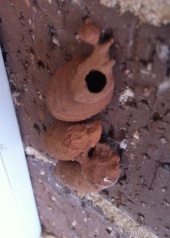 This is a trio of mud dauber nest on the side of our house, in a window behind the barbecue. The top one recently hatched; the bottom two are still feeding, waiting to emerge.