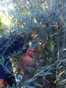 We had to stretch right into the tree to be sure to pick every last olive!
