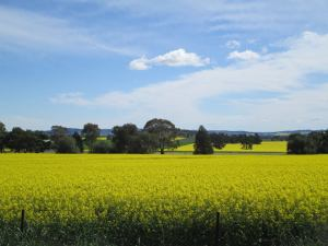 Beautiful fields of canola on the drive to Junee.
