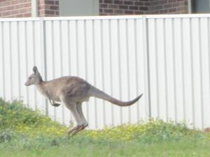 Yes, that's a fence and a house in a residential neighbourhood - a kangaroo across from Lisa and Dan's house!