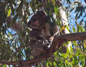 A sleepy koala in his natural habitat. He posed so beautifully for us!